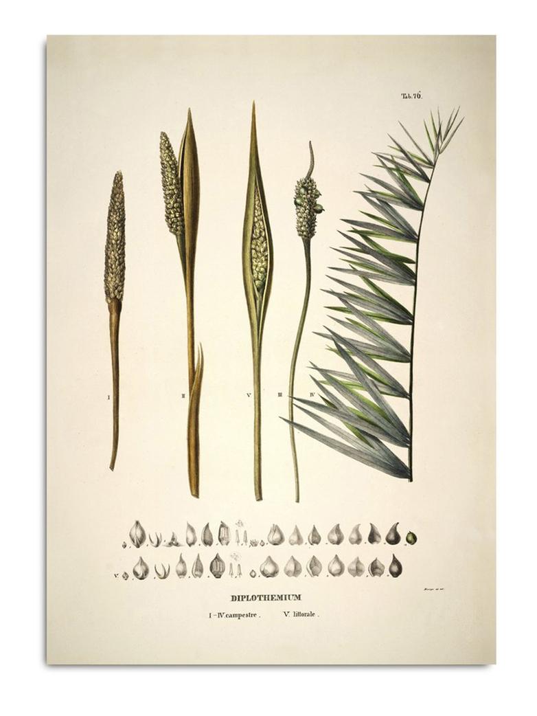 Botanical Palm Print Diplothemium