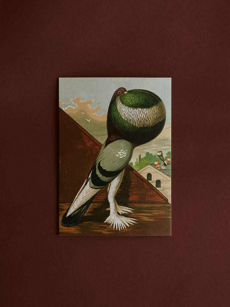 Green Pouter Cock Card With Envelope