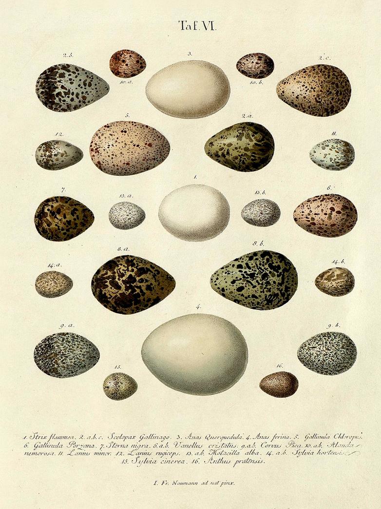 Eggs taf. VI